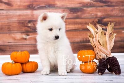 puppy26-week6-bowtiepomsky-com-bowtie-pomsky-puppy-for-sale-husky-pomeranian-mini-dog-spokane-wa-breeder-blue-eyes-pomskies-photo_fb-17