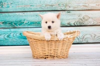 puppy26-week6-bowtiepomsky-com-bowtie-pomsky-puppy-for-sale-husky-pomeranian-mini-dog-spokane-wa-breeder-blue-eyes-pomskies-photo_fb-21