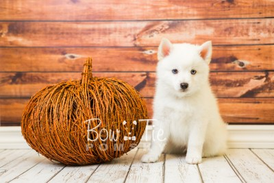 puppy26-week8-bowtiepomsky-com-bowtie-pomsky-puppy-for-sale-husky-pomeranian-mini-dog-spokane-wa-breeder-blue-eyes-pomskies-bowtie_pumsky_fb-0429