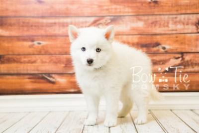 puppy26-week8-bowtiepomsky-com-bowtie-pomsky-puppy-for-sale-husky-pomeranian-mini-dog-spokane-wa-breeder-blue-eyes-pomskies-bowtie_pumsky_fb-0434