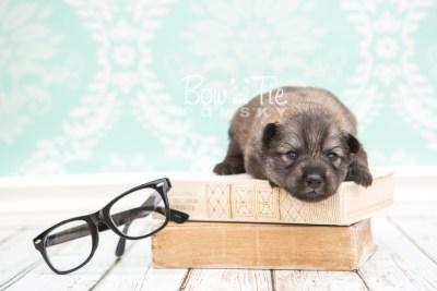 puppy27 week2 BowTiePomsky.com Bowtie Pomsky Puppy For Sale Husky Pomeranian Mini Dog Spokane WA Breeder Blue Eyes Pomskies photo-photo_fb-1