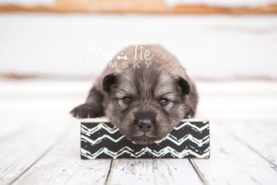 puppy27 week2 BowTiePomsky.com Bowtie Pomsky Puppy For Sale Husky Pomeranian Mini Dog Spokane WA Breeder Blue Eyes Pomskies photo-photo_fb-6