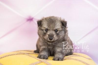 puppy27-week4-bowtiepomsky-com-bowtie-pomsky-puppy-for-sale-husky-pomeranian-mini-dog-spokane-wa-breeder-blue-eyes-pomskies-photo_fb-22