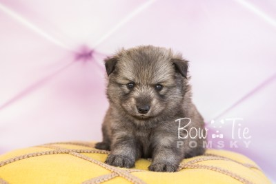 puppy27-week4-bowtiepomsky-com-bowtie-pomsky-puppy-for-sale-husky-pomeranian-mini-dog-spokane-wa-breeder-blue-eyes-pomskies-photo_fb-22