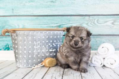 puppy27-week4-bowtiepomsky-com-bowtie-pomsky-puppy-for-sale-husky-pomeranian-mini-dog-spokane-wa-breeder-blue-eyes-pomskies-photo_fb-23