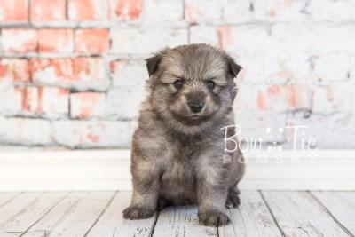 puppy27-week4-bowtiepomsky-com-bowtie-pomsky-puppy-for-sale-husky-pomeranian-mini-dog-spokane-wa-breeder-blue-eyes-pomskies-photo_fb-24