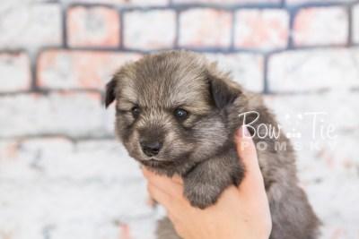 puppy27-week4-bowtiepomsky-com-bowtie-pomsky-puppy-for-sale-husky-pomeranian-mini-dog-spokane-wa-breeder-blue-eyes-pomskies-photo_fb-25