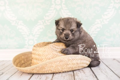 puppy27-week4-bowtiepomsky-com-bowtie-pomsky-puppy-for-sale-husky-pomeranian-mini-dog-spokane-wa-breeder-blue-eyes-pomskies-photo_fb-28