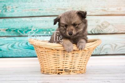 puppy27-week6-bowtiepomsky-com-bowtie-pomsky-puppy-for-sale-husky-pomeranian-mini-dog-spokane-wa-breeder-blue-eyes-pomskies-photo_fb-22