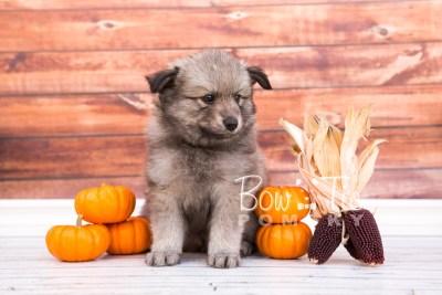 puppy27-week6-bowtiepomsky-com-bowtie-pomsky-puppy-for-sale-husky-pomeranian-mini-dog-spokane-wa-breeder-blue-eyes-pomskies-photo_fb-25