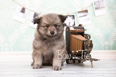 puppy27-week6-bowtiepomsky-com-bowtie-pomsky-puppy-for-sale-husky-pomeranian-mini-dog-spokane-wa-breeder-blue-eyes-pomskies-photo_fb-26