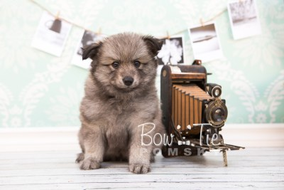 puppy27-week6-bowtiepomsky-com-bowtie-pomsky-puppy-for-sale-husky-pomeranian-mini-dog-spokane-wa-breeder-blue-eyes-pomskies-photo_fb-26