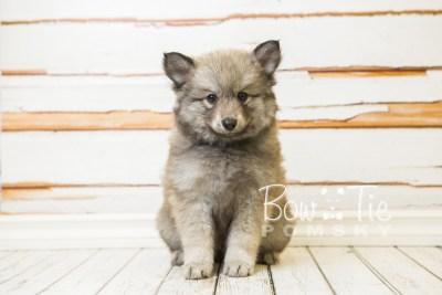 puppy27-week8-bowtiepomsky-com-bowtie-pomsky-puppy-for-sale-husky-pomeranian-mini-dog-spokane-wa-breeder-blue-eyes-pomskies-bowtie_pumsky_fb-0537