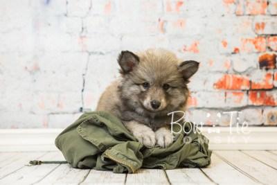 puppy27-week8-bowtiepomsky-com-bowtie-pomsky-puppy-for-sale-husky-pomeranian-mini-dog-spokane-wa-breeder-blue-eyes-pomskies-bowtie_pumsky_fb-0552