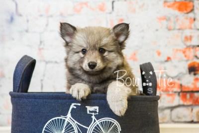 puppy27-week8-bowtiepomsky-com-bowtie-pomsky-puppy-for-sale-husky-pomeranian-mini-dog-spokane-wa-breeder-blue-eyes-pomskies-bowtie_pumsky_fb-0563