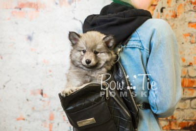 puppy27-week8-bowtiepomsky-com-bowtie-pomsky-puppy-for-sale-husky-pomeranian-mini-dog-spokane-wa-breeder-blue-eyes-pomskies-bowtie_pumsky_fb-0596