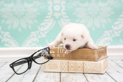 puppy28 week2 BowTiePomsky.com Bowtie Pomsky Puppy For Sale Husky Pomeranian Mini Dog Spokane WA Breeder Blue Eyes Pomskies photo-photo_fb-1