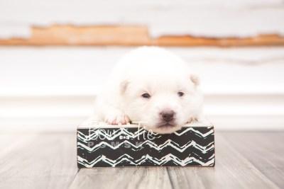 puppy28 week2 BowTiePomsky.com Bowtie Pomsky Puppy For Sale Husky Pomeranian Mini Dog Spokane WA Breeder Blue Eyes Pomskies photo-photo_fb-6