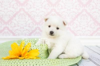 puppy28-week4-bowtiepomsky-com-bowtie-pomsky-puppy-for-sale-husky-pomeranian-mini-dog-spokane-wa-breeder-blue-eyes-pomskies-photo_fb-1