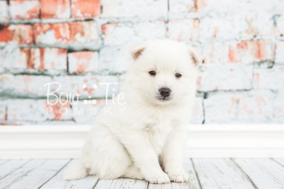 puppy28-week4-bowtiepomsky-com-bowtie-pomsky-puppy-for-sale-husky-pomeranian-mini-dog-spokane-wa-breeder-blue-eyes-pomskies-photo_fb-4