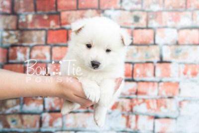 puppy28-week4-bowtiepomsky-com-bowtie-pomsky-puppy-for-sale-husky-pomeranian-mini-dog-spokane-wa-breeder-blue-eyes-pomskies-photo_fb-6
