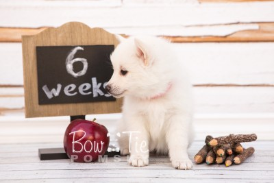 puppy28-week6-bowtiepomsky-com-bowtie-pomsky-puppy-for-sale-husky-pomeranian-mini-dog-spokane-wa-breeder-blue-eyes-pomskies-photo_fb-29