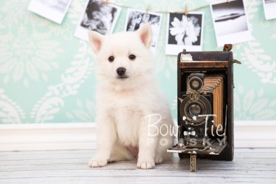 puppy28-week6-bowtiepomsky-com-bowtie-pomsky-puppy-for-sale-husky-pomeranian-mini-dog-spokane-wa-breeder-blue-eyes-pomskies-photo_fb-30