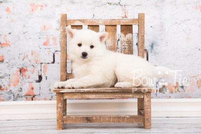 puppy28-week6-bowtiepomsky-com-bowtie-pomsky-puppy-for-sale-husky-pomeranian-mini-dog-spokane-wa-breeder-blue-eyes-pomskies-photo_fb-32