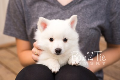 puppy28-week6-bowtiepomsky-com-bowtie-pomsky-puppy-for-sale-husky-pomeranian-mini-dog-spokane-wa-breeder-blue-eyes-pomskies-photo_fb-35