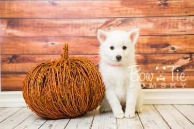 puppy28-week8-bowtiepomsky-com-bowtie-pomsky-puppy-for-sale-husky-pomeranian-mini-dog-spokane-wa-breeder-blue-eyes-pomskies-bowtie_pumsky_fb-0603