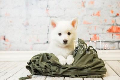 puppy28-week8-bowtiepomsky-com-bowtie-pomsky-puppy-for-sale-husky-pomeranian-mini-dog-spokane-wa-breeder-blue-eyes-pomskies-bowtie_pumsky_fb-0636