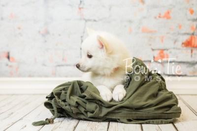 puppy28-week8-bowtiepomsky-com-bowtie-pomsky-puppy-for-sale-husky-pomeranian-mini-dog-spokane-wa-breeder-blue-eyes-pomskies-bowtie_pumsky_fb-0637