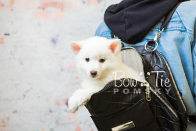 puppy28-week8-bowtiepomsky-com-bowtie-pomsky-puppy-for-sale-husky-pomeranian-mini-dog-spokane-wa-breeder-blue-eyes-pomskies-bowtie_pumsky_fb-0656
