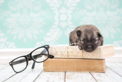 puppy29 week2 BowTiePomsky.com Bowtie Pomsky Puppy For Sale Husky Pomeranian Mini Dog Spokane WA Breeder Blue Eyes Pomskies photo-photo_fb-1