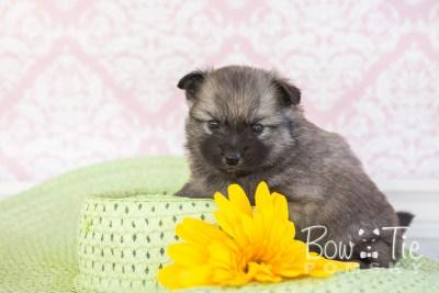 puppy29-week4-bowtiepomsky-com-bowtie-pomsky-puppy-for-sale-husky-pomeranian-mini-dog-spokane-wa-breeder-blue-eyes-pomskies-photo_fb-35