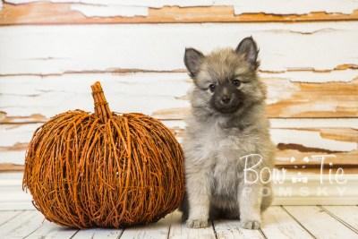 puppy29-week8-bowtiepomsky-com-bowtie-pomsky-puppy-for-sale-husky-pomeranian-mini-dog-spokane-wa-breeder-blue-eyes-pomskies-bowtie_pumsky_fb-0660