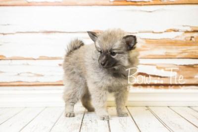 puppy29-week8-bowtiepomsky-com-bowtie-pomsky-puppy-for-sale-husky-pomeranian-mini-dog-spokane-wa-breeder-blue-eyes-pomskies-bowtie_pumsky_fb-0676
