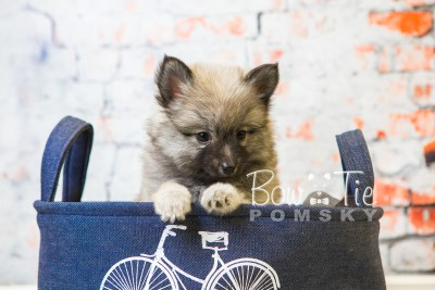 puppy29-week8-bowtiepomsky-com-bowtie-pomsky-puppy-for-sale-husky-pomeranian-mini-dog-spokane-wa-breeder-blue-eyes-pomskies-bowtie_pumsky_fb-0731