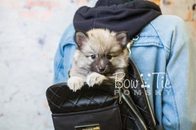 puppy29-week8-bowtiepomsky-com-bowtie-pomsky-puppy-for-sale-husky-pomeranian-mini-dog-spokane-wa-breeder-blue-eyes-pomskies-bowtie_pumsky_fb-0733