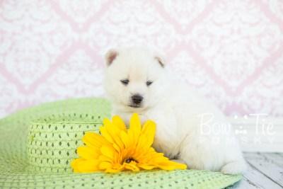 puppy30-week4-bowtiepomsky-com-bowtie-pomsky-puppy-for-sale-husky-pomeranian-mini-dog-spokane-wa-breeder-blue-eyes-pomskies-photo_fb-42