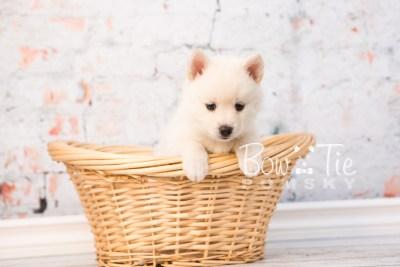 puppy30-week6-bowtiepomsky-com-bowtie-pomsky-puppy-for-sale-husky-pomeranian-mini-dog-spokane-wa-breeder-blue-eyes-pomskies-photo_fb-48