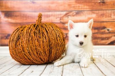 puppy30-week8-bowtiepomsky-com-bowtie-pomsky-puppy-for-sale-husky-pomeranian-mini-dog-spokane-wa-breeder-blue-eyes-pomskies-bowtie_pumsky_fb-0740