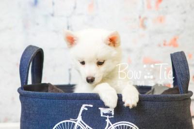 puppy30-week8-bowtiepomsky-com-bowtie-pomsky-puppy-for-sale-husky-pomeranian-mini-dog-spokane-wa-breeder-blue-eyes-pomskies-bowtie_pumsky_fb-0809