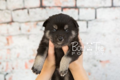 puppy31-week4-bowtiepomsky-com-bowtie-pomsky-puppy-for-sale-husky-pomeranian-mini-dog-spokane-wa-breeder-blue-eyes-pomskies-photo_fb-46