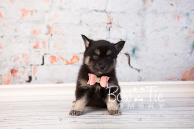 puppy31-week6-bowtiepomsky-com-bowtie-pomsky-puppy-for-sale-husky-pomeranian-mini-dog-spokane-wa-breeder-blue-eyes-pomskies-photo_fb-51