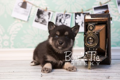 puppy31-week6-bowtiepomsky-com-bowtie-pomsky-puppy-for-sale-husky-pomeranian-mini-dog-spokane-wa-breeder-blue-eyes-pomskies-photo_fb-55