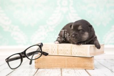 puppy32 week2 BowTiePomsky.com Bowtie Pomsky Puppy For Sale Husky Pomeranian Mini Dog Spokane WA Breeder Blue Eyes Pomskies photo-photo_fb-1
