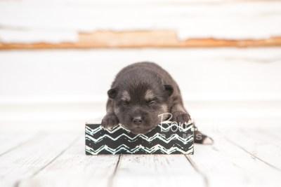 puppy32 week2 BowTiePomsky.com Bowtie Pomsky Puppy For Sale Husky Pomeranian Mini Dog Spokane WA Breeder Blue Eyes Pomskies photo-photo_fb-6