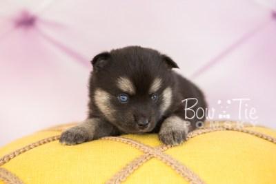 puppy32-week4-bowtiepomsky-com-bowtie-pomsky-puppy-for-sale-husky-pomeranian-mini-dog-spokane-wa-breeder-blue-eyes-pomskies-photo_fb-50