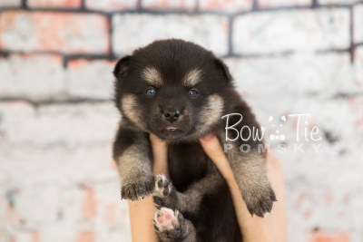 puppy32-week4-bowtiepomsky-com-bowtie-pomsky-puppy-for-sale-husky-pomeranian-mini-dog-spokane-wa-breeder-blue-eyes-pomskies-photo_fb-53